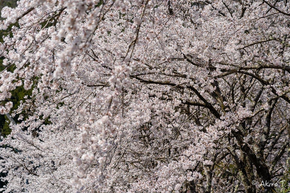 京都の桜 2019 〜8〜_f0152550_23013449.jpg