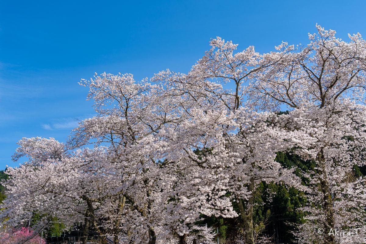 京都の桜 2019 〜8〜_f0152550_23015065.jpg