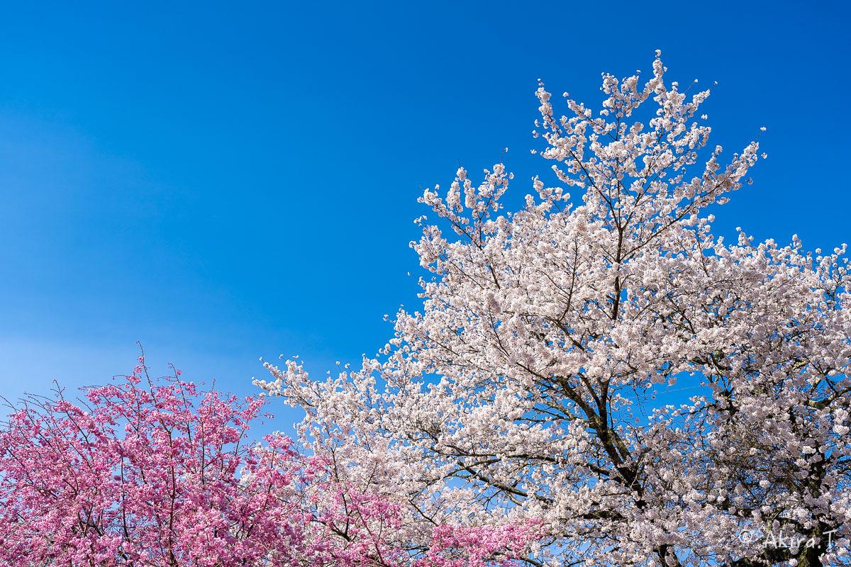 京都の桜 2019 〜8〜_f0152550_23015849.jpg