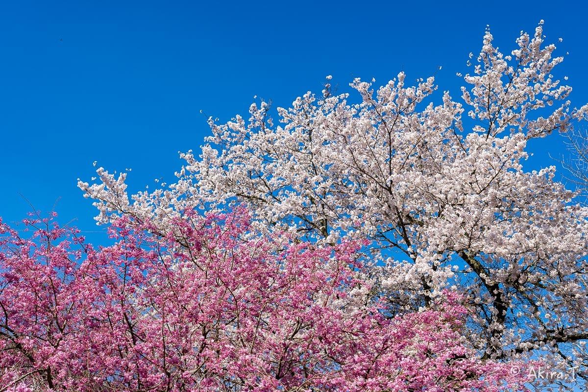京都の桜 2019 〜8〜_f0152550_23020647.jpg