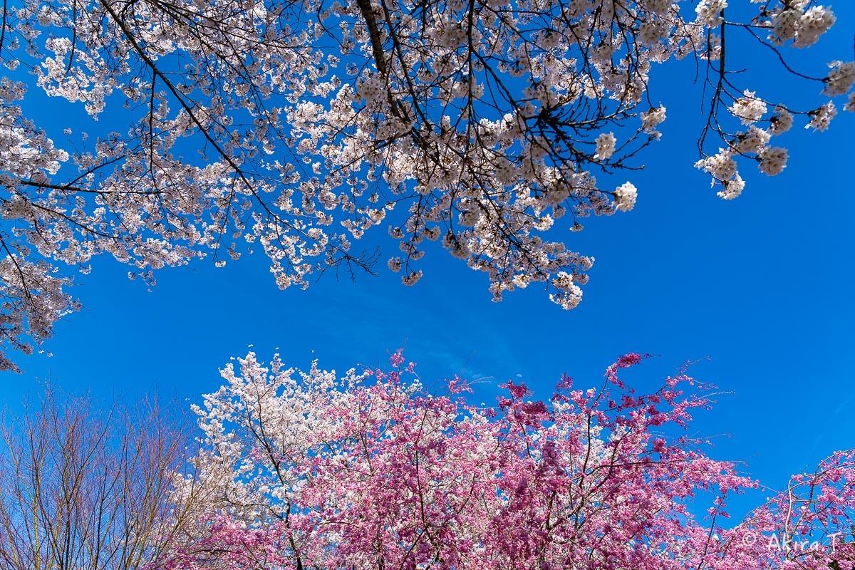 京都の桜 2019 〜8〜_f0152550_23023359.jpg