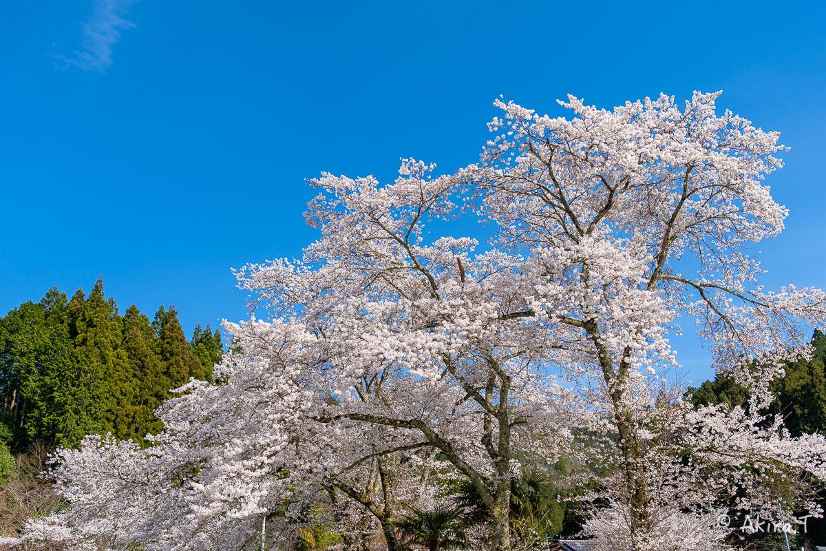 京都の桜 2019 〜8〜_f0152550_23024148.jpg