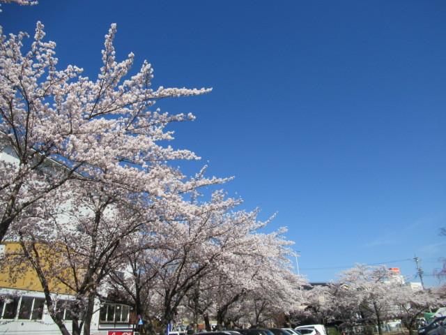 小諸城址・懐古園 * 桜が満開でした~軽井沢の桜も開花しました♪_f0236260_13553856.jpg