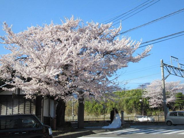 小諸城址・懐古園 * 桜が満開でした~軽井沢の桜も開花しました♪_f0236260_15193195.jpg