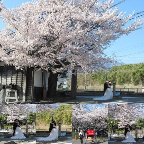 小諸城址・懐古園 * 桜が満開でした~軽井沢の桜も開花しました♪_f0236260_15405296.jpg