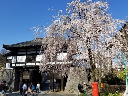 小諸城址・懐古園 * 桜が満開でした~軽井沢の桜も開花しました♪_f0236260_15420685.jpg