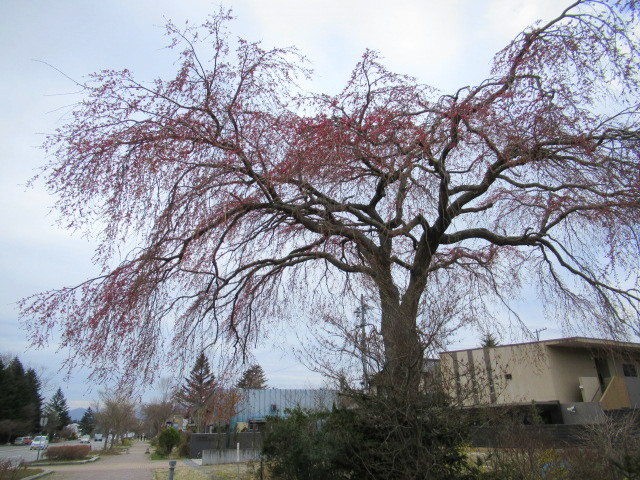 小諸城址・懐古園 * 桜が満開でした~軽井沢の桜も開花しました♪_f0236260_15585872.jpg