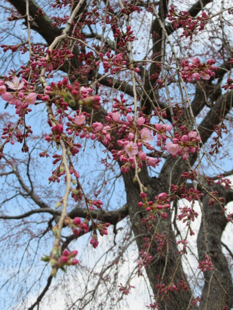 小諸城址・懐古園 * 桜が満開でした~軽井沢の桜も開花しました♪_f0236260_15591246.jpg