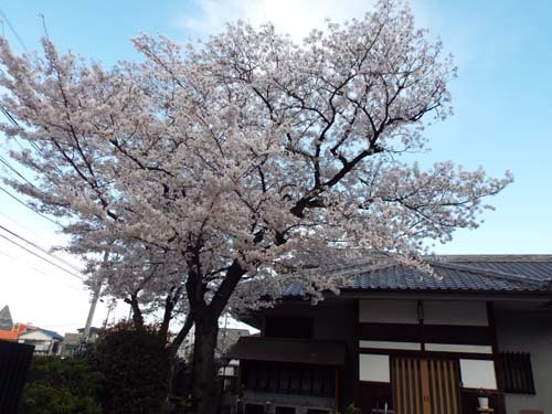 桜見物 近所から池上、目黒川まで見たこと_f0211178_18403635.jpg