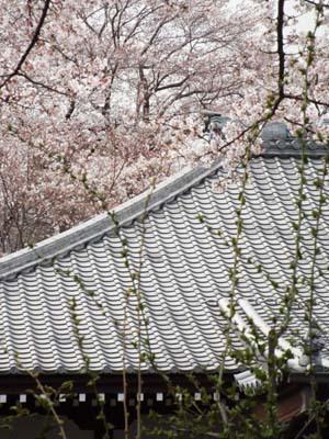桜見物 近所から池上、目黒川まで見たこと_f0211178_18411832.jpg