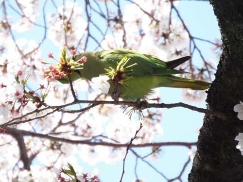 桜見物 近所から池上、目黒川まで見たこと_f0211178_18422646.jpg