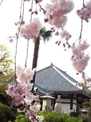 桜見物 近所から池上、目黒川まで見たこと_f0211178_18431920.jpg