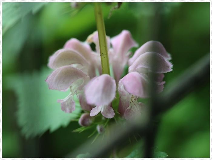 この季節に見られる、足元に咲く可愛い野草たち その1 一心寺にて_b0175688_00190562.jpg