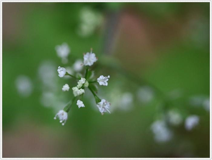 この季節に見られる、足元に咲く可愛い野草たち その1 一心寺にて_b0175688_00203870.jpg