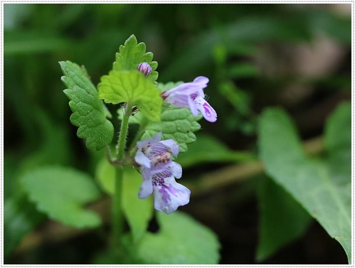 この季節に見られる、足元に咲く可愛い野草たち その1 一心寺にて_b0175688_00220426.jpg