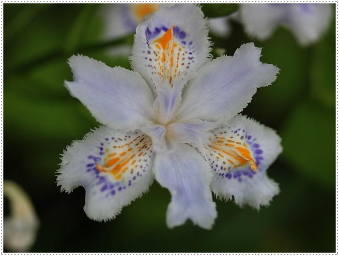 この季節に見られる、足元に咲く可愛い野草たち その1 一心寺にて_b0175688_00223279.jpg