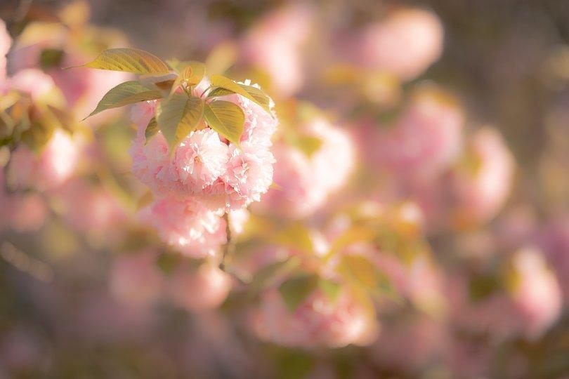 過ぎ去りし日々を慈しむ八重桜 - Auld Lang Syne_d0353489_19003257.jpg