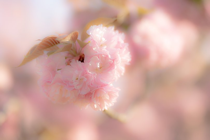 過ぎ去りし日々を慈しむ八重桜 - Auld Lang Syne_d0353489_19012392.jpg