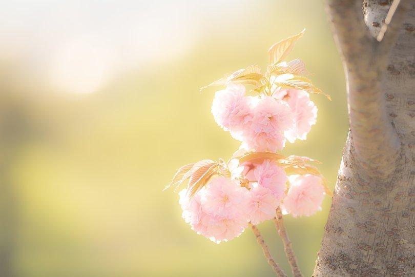 過ぎ去りし日々を慈しむ八重桜 - Auld Lang Syne_d0353489_19190642.jpg