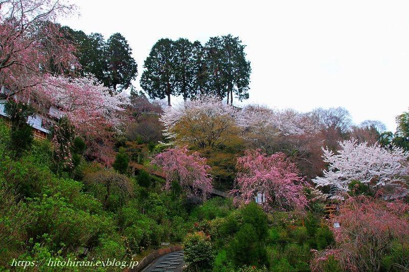 京都の桜 善峯寺 _f0374092_16462183.jpg