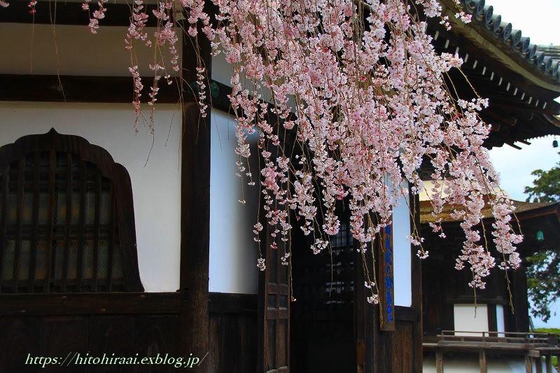 京都の桜 善峯寺 _f0374092_17001809.jpg