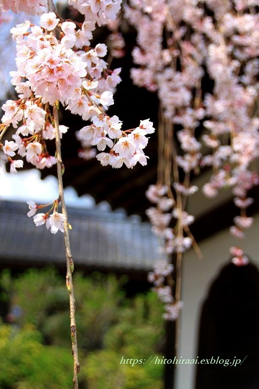 京都の桜 善峯寺 _f0374092_17012069.jpg