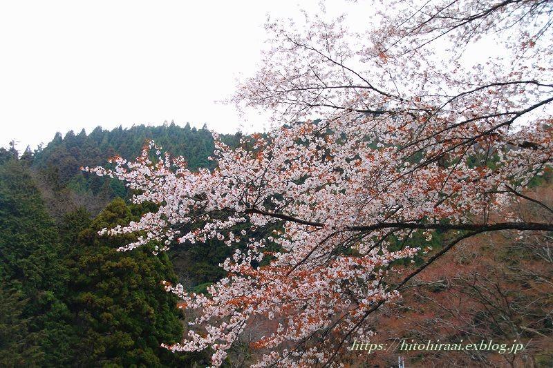 京都の桜 善峯寺 _f0374092_17180018.jpg