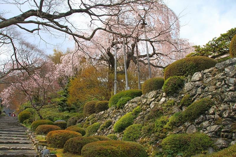 京都の桜 善峯寺 _f0374092_17362766.jpg