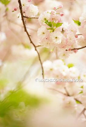 サトザクラ_e0136194_22003983.jpg