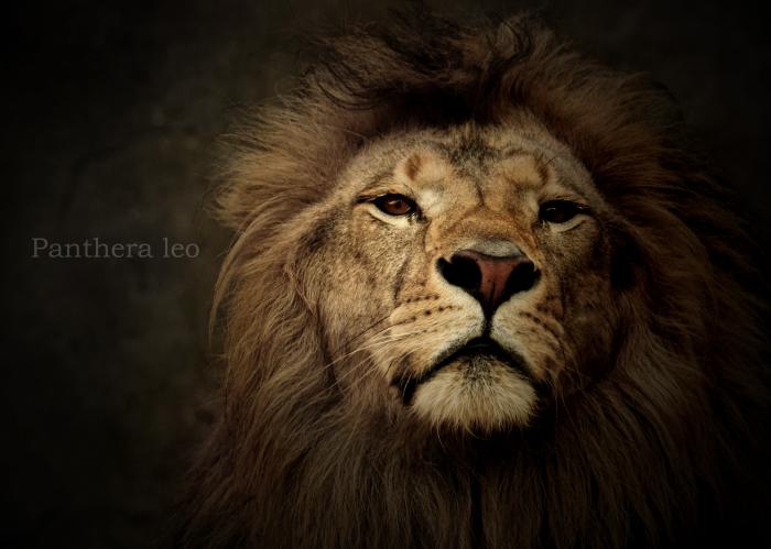 ライオン:Lion_b0249597_05584933.jpg
