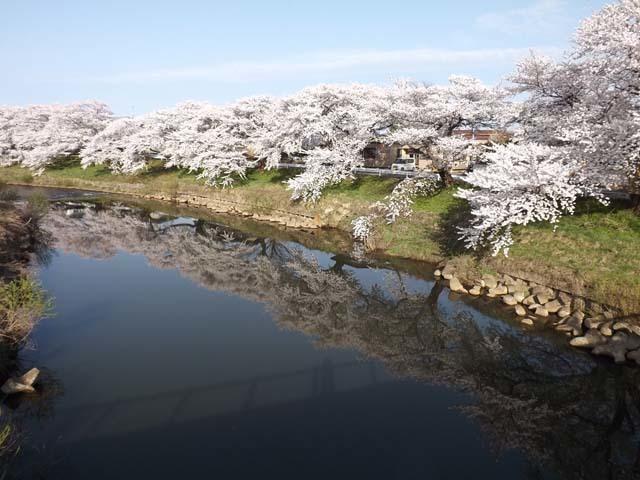秋田市太平川沿いの桜_f0019498_21075303.jpg