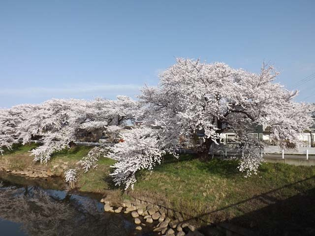 秋田市太平川沿いの桜_f0019498_21080548.jpg