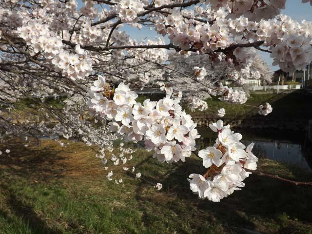 秋田市太平川沿いの桜_f0019498_21082768.jpg