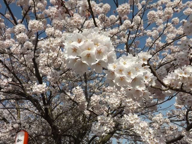 秋田市太平川沿いの桜_f0019498_21084351.jpg