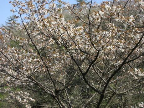 山桜咲く・摘み草を食べる など_a0203003_21325806.jpg