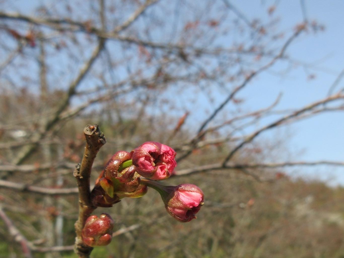 山桜咲く・摘み草を食べる など_a0203003_21333239.jpg