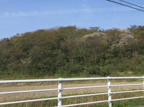 山桜咲く・摘み草を食べる など_a0203003_21335245.jpg