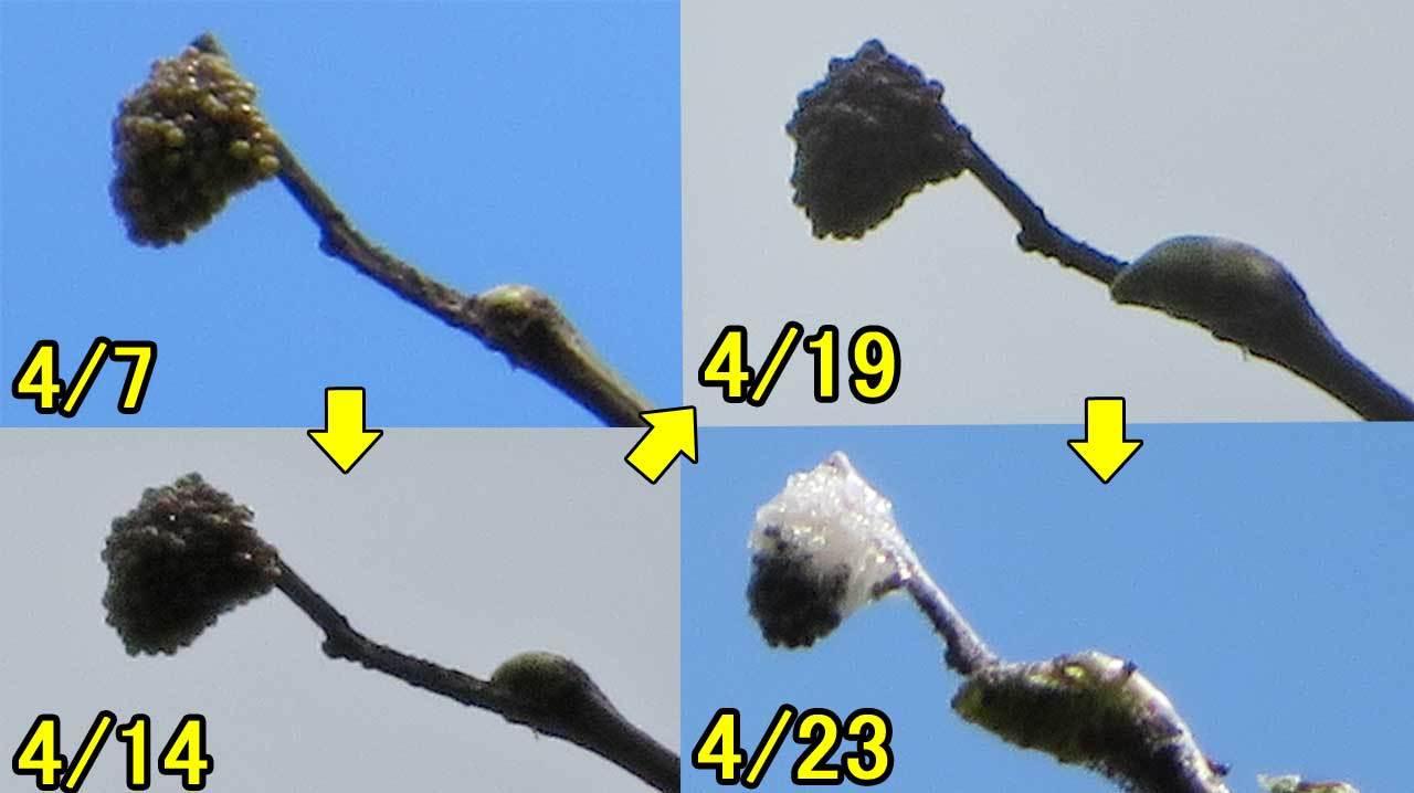 ヒオドシチョウ卵塊の孵化_e0253104_22165160.jpg