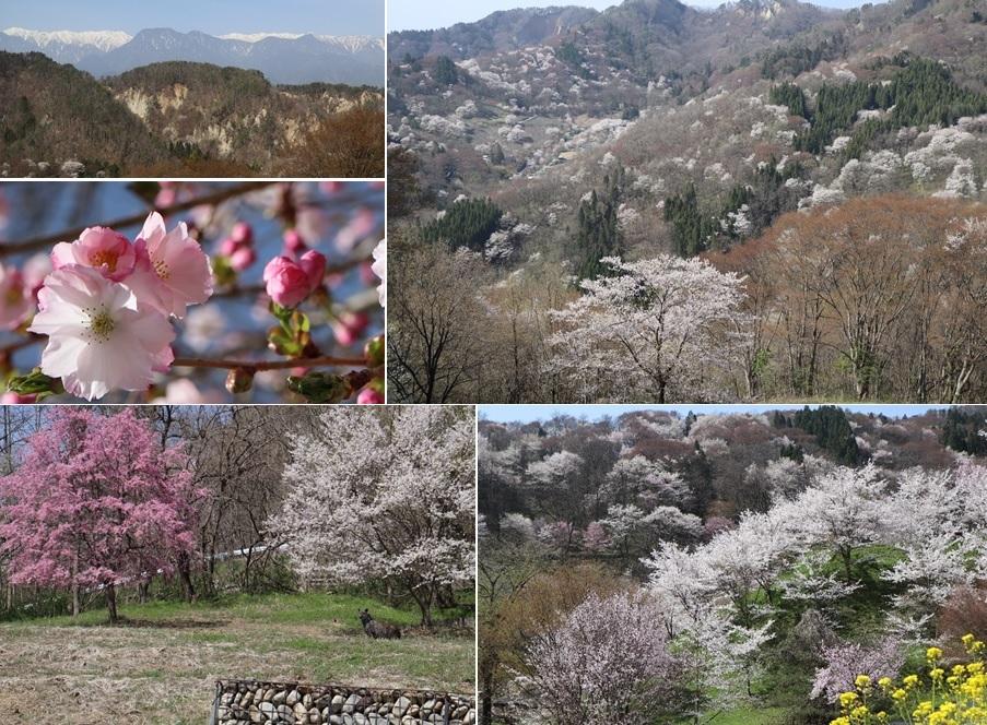 陸郷は桜で埋まり・・_a0212730_11002590.jpg