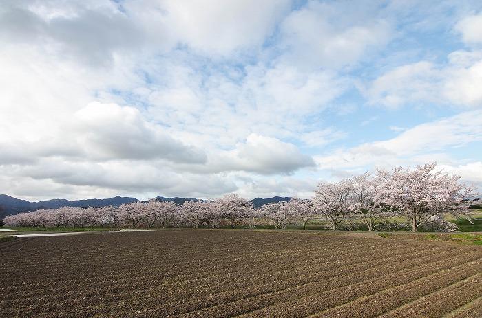 いつもの桜並木 2019_c0106831_21353733.jpg