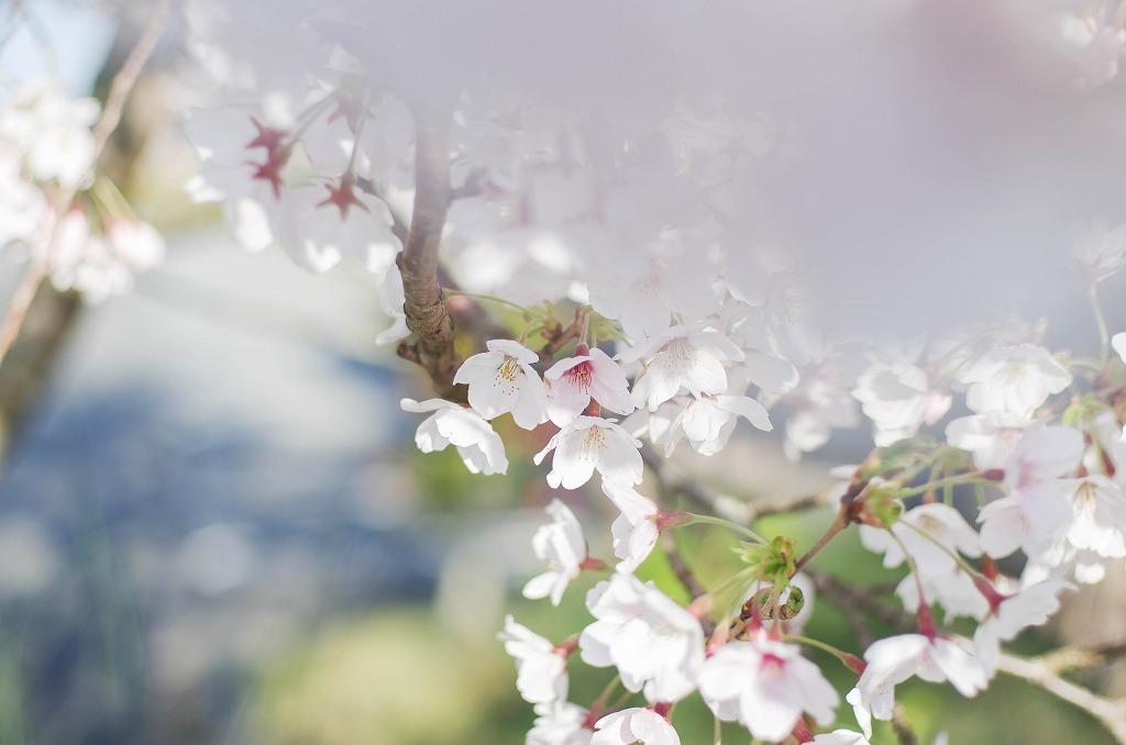 いつもの桜並木 2019_c0106831_21355724.jpg