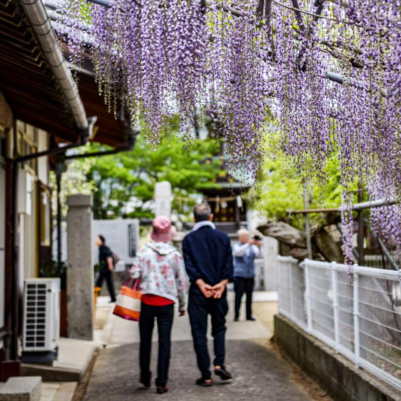 岩田神社 孔雀藤 2019_d0246136_19421093.jpg