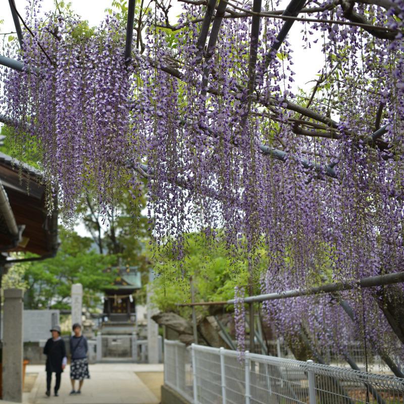 岩田神社 孔雀藤 2019_d0246136_19421434.jpg