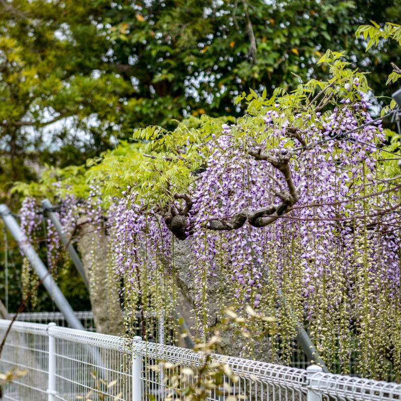 岩田神社 孔雀藤 2019_d0246136_19422659.jpg