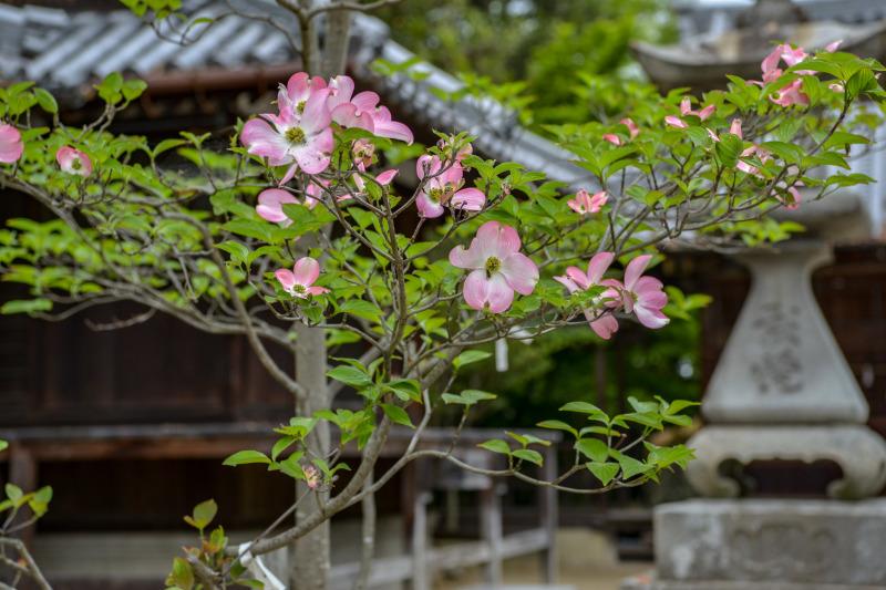 岩田神社 孔雀藤 2019_d0246136_19431469.jpg