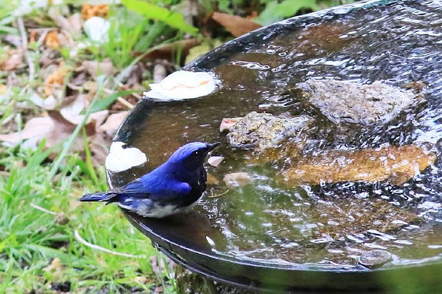 春の渡りの野鳥たち。水浴び編_e0077041_11564035.jpg