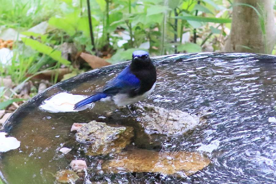 春の渡りの野鳥たち。水浴び編_e0077041_11572362.jpg