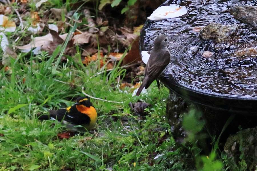 春の渡りの野鳥たち。水浴び編_e0077041_11591999.jpg