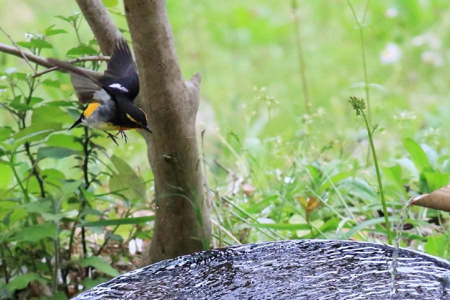 春の渡りの野鳥たち。水浴び編_e0077041_11595122.jpg
