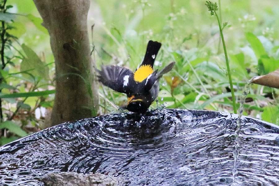 春の渡りの野鳥たち。水浴び編_e0077041_1202017.jpg